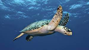 How Long Does a Turtle Life?